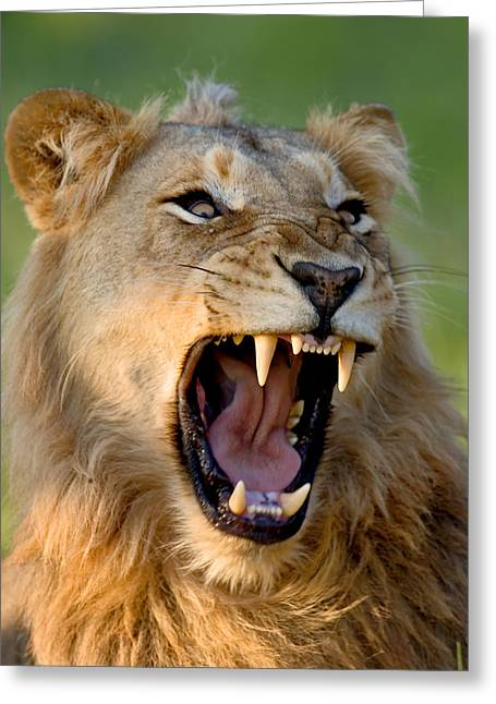 Fauna Greeting Cards - Lion Greeting Card by Johan Swanepoel
