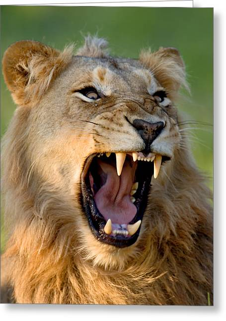 Fears Greeting Cards - Lion Greeting Card by Johan Swanepoel