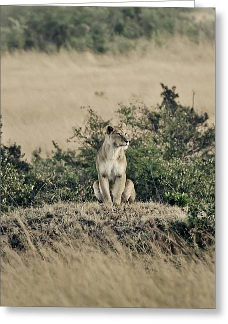Serengeti Lioness Greeting Cards - Lioness in the wild Greeting Card by Mesha Zelkovich