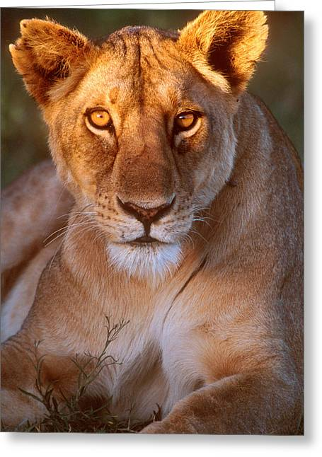 Lioness Tanzania Africa Greeting Card by Panoramic Images