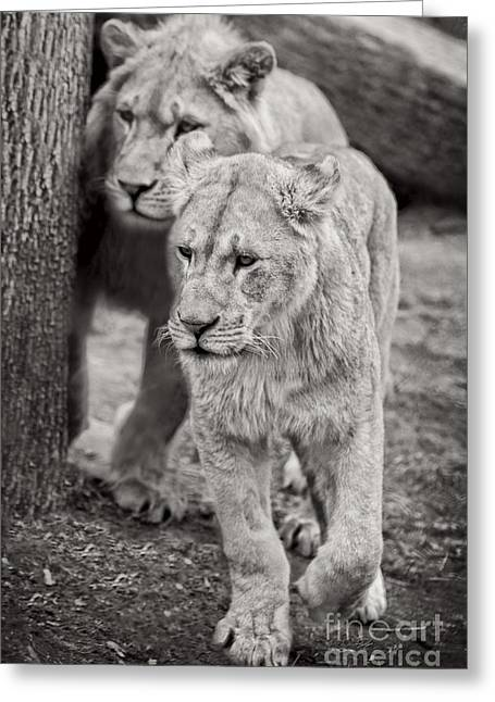 Lions Greeting Cards - Lions Greeting Card by HD Connelly