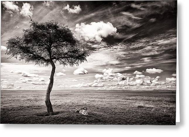 Awe Inspiring Greeting Cards - Lions In The Shade - Selenium Toned Greeting Card by Mike Gaudaur