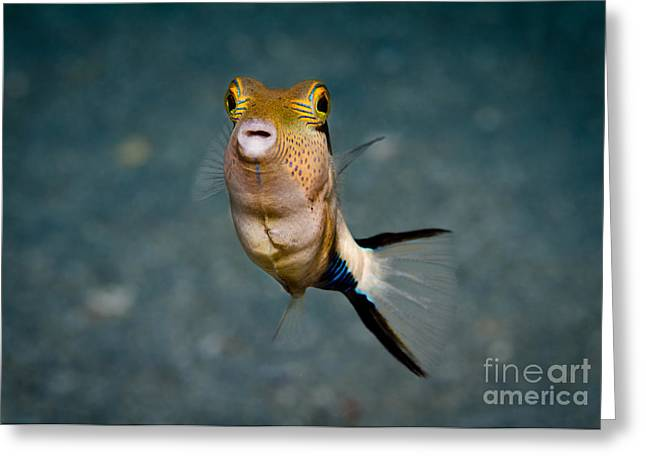 Puffer Greeting Cards - Little Angel Greeting Card by Craig Dietrich