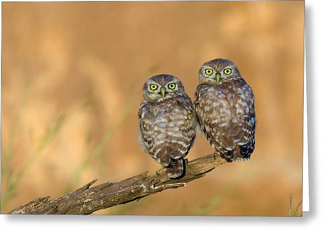 Little Owl Athene Noctua Couple Greeting Card by Photostock-israel