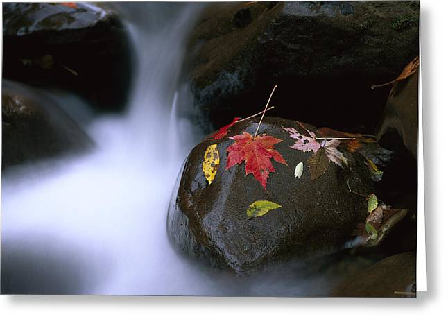 Tennessee River Greeting Cards - Little Pigeon River And Fall Maple Greeting Card by Tim Fitzharris