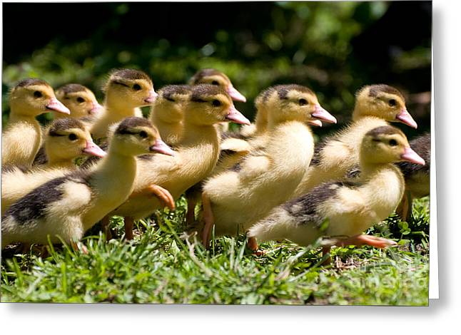 Yellow Muscovy Duck Ducklings Running In Hurry  Greeting Card by Arletta Cwalina