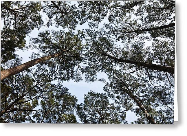Reaching Up Greeting Cards - Loblolly Pine Forest Canopy Greeting Card by Greg Dimijian