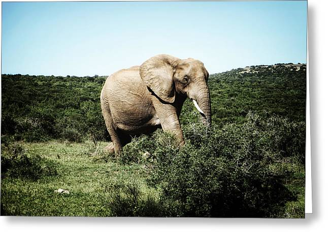 Elephant Photographs Greeting Cards - Lonely Giant Greeting Card by Ryan Wyckoff