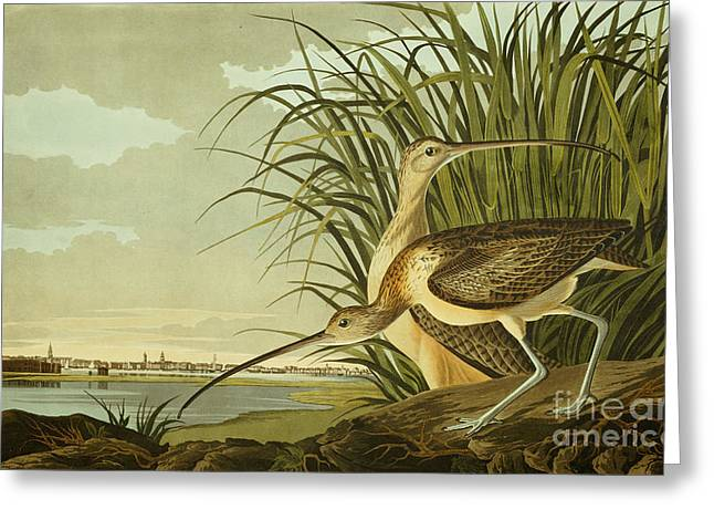 Sea Birds Drawings Greeting Cards - Long Billed Curlew Greeting Card by John James Audubon