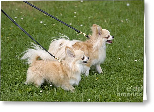 Dog Walking Greeting Cards - Long-haired Chihuahuas Greeting Card by Jean-Michel Labat