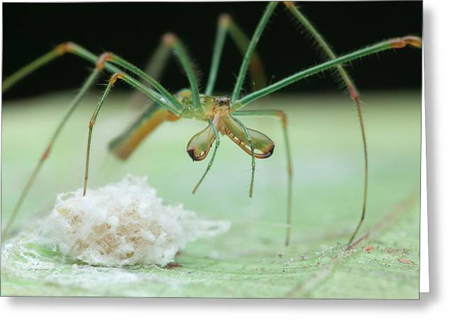Long-jawed Orb Weaver And Eggs Greeting Card by Melvyn Yeo