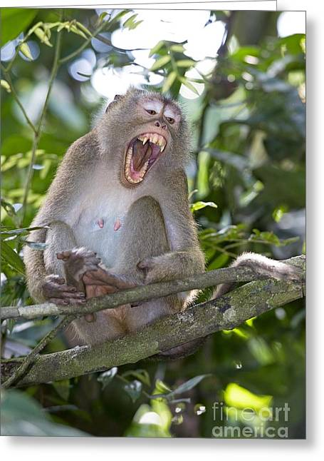Long Tail Greeting Cards - Long-tailed Macaque Greeting Card by Tony Camacho
