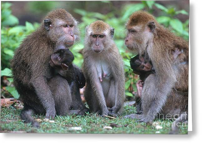 Long Tail Greeting Cards - Long-tailed Macaques Greeting Card by Art Wolfe