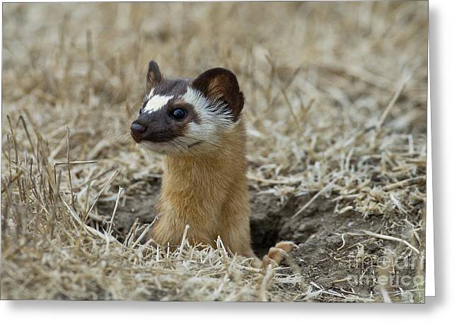 Long Tail Greeting Cards - Long-tailed Weasel Greeting Card by Anthony Mercieca