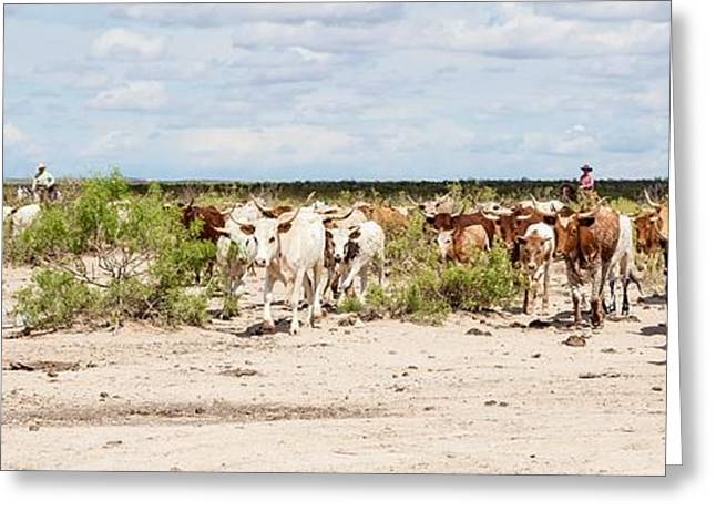 Breeds Greeting Cards - Longhorn Cattle Drive Greeting Card by Ralph Brannan