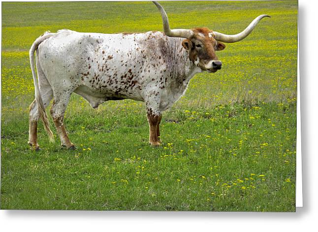 Horned Animals Greeting Cards - Texas Longhorn Greeting Card by David and Carol Kelly