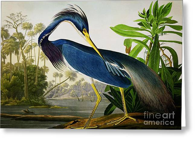 Wild Life Drawings Greeting Cards - Louisiana Heron Greeting Card by Celestial Images