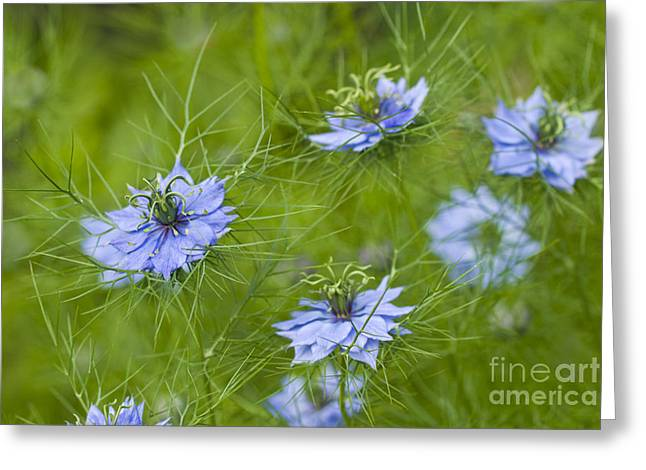 Damascena Greeting Cards - Love-in-a-mist Greeting Card by Ellen Thane