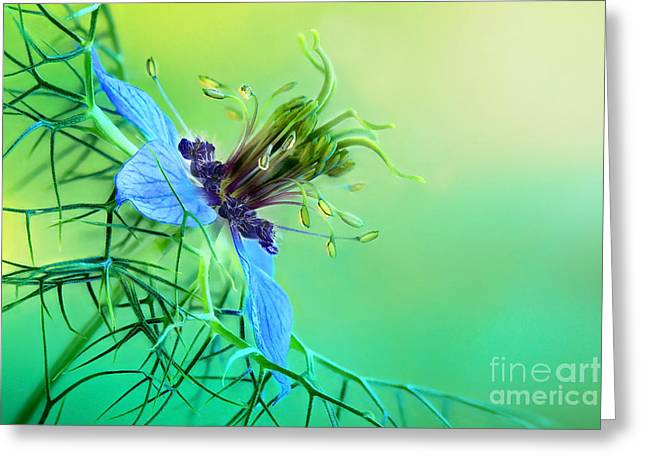 Rag Lady Greeting Cards - Love in a Mist  Greeting Card by Onelia PGPhotography