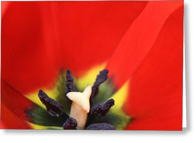 Love Is A Gift -  Tulip Pistil Detail Greeting Card by Sharon Mau