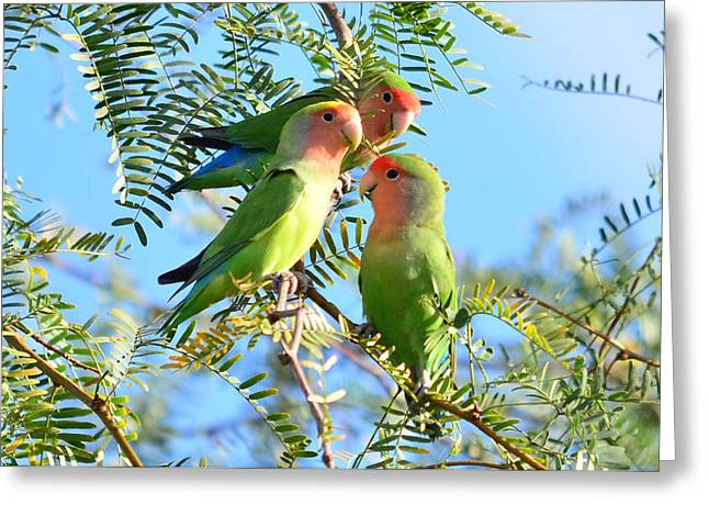 Peach-faced Lovebird Greeting Cards - Lovebirds Greeting Card by Eduardo  Dinero