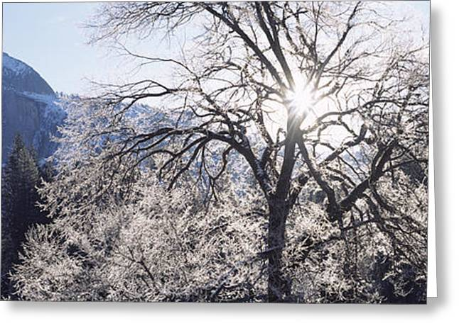 Californian Greeting Cards - Low Angle View Of A Snow Covered Oak Greeting Card by Panoramic Images