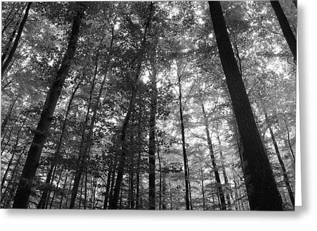 Tall Tree Greeting Cards - Low Angle View Of Beech Trees Greeting Card by Panoramic Images