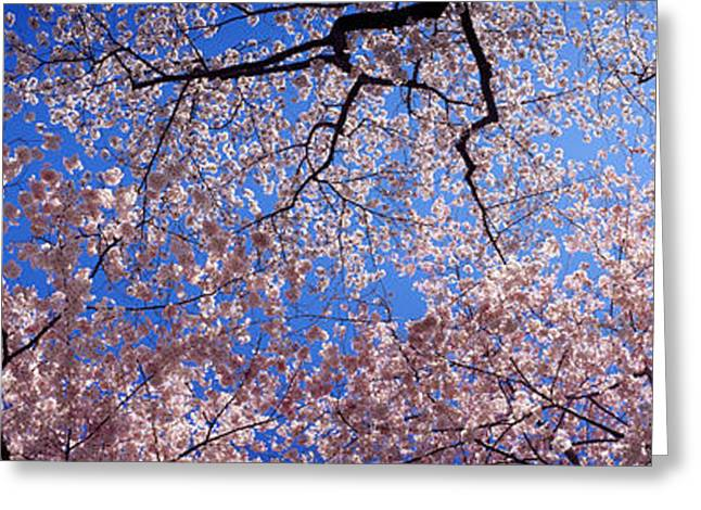 Pink Flower Branch Greeting Cards - Low Angle View Of Cherry Blossom Trees Greeting Card by Panoramic Images