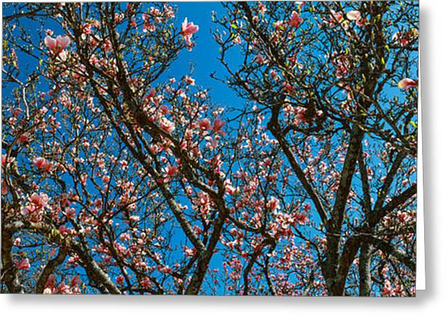 Franklin Greeting Cards - Low Angle View Of Cherry Trees Greeting Card by Panoramic Images