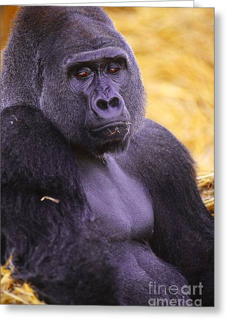 Gorilla Photographs Greeting Cards - Lowland Gorilla Greeting Card by Art Wolfe