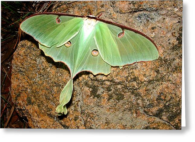 Forest Dweller Greeting Cards - Luna Moth Greeting Card by Tanya Hamell