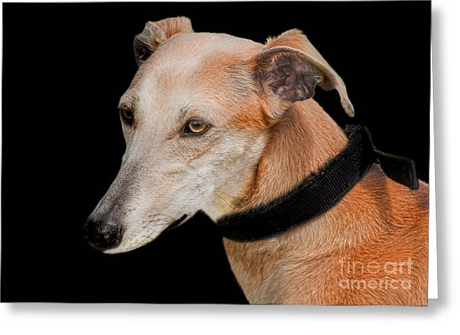 Lurcher Greeting Cards - Lurcher Greeting Card by Linsey Williams
