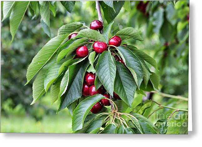 Fruit On The Vine Greeting Cards - Luscious Cherries Greeting Card by Carol Groenen