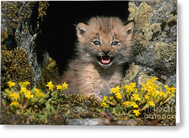 Lynx Sp Greeting Cards - Lynx Kitten Greeting Card by Jeffrey Lepore
