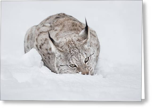 Bobcats Greeting Cards - Lynx Wild Cat Greeting Card by Andy Astbury