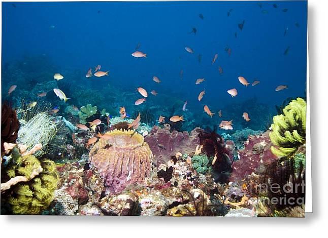 Reef Fish Greeting Cards - Lyretail Anthias Fish Greeting Card by Georgette Douwma
