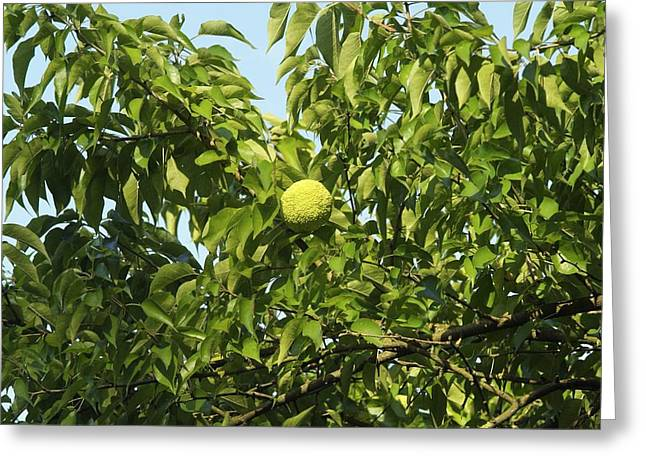 Ripening Fruit Greeting Cards - Maclura pomifera Greeting Card by Science Photo Library
