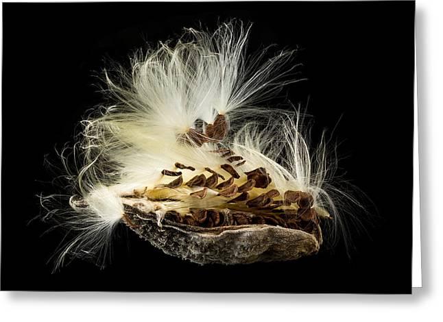 Swamp Milkweed Greeting Cards - Macro photo of swamp milkweed seed pod Greeting Card by Steve Heap