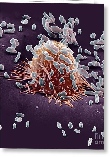 Macrophage Greeting Cards - Macrophage Ingesting Pseudomonas Greeting Card by David M. Phillips