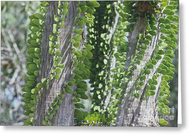 Adaptation Greeting Cards - Madagascan Tree Leaves Greeting Card by Doug Allan
