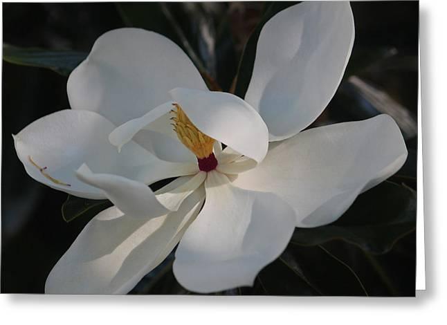 Magnolia Grandiflora Greeting Cards - Magnolia grandiflora II Greeting Card by Suzanne Gaff