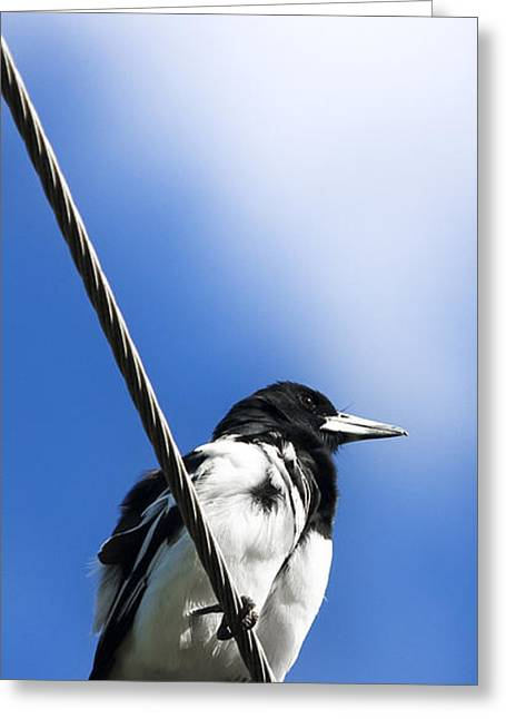 Magpies Greeting Cards - Magpie Up High Greeting Card by Ryan Jorgensen