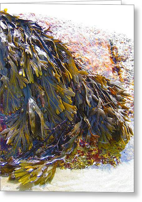 Beach Prints Drawings Greeting Cards - Maine Seaweed 6 Greeting Card by Christine Dion