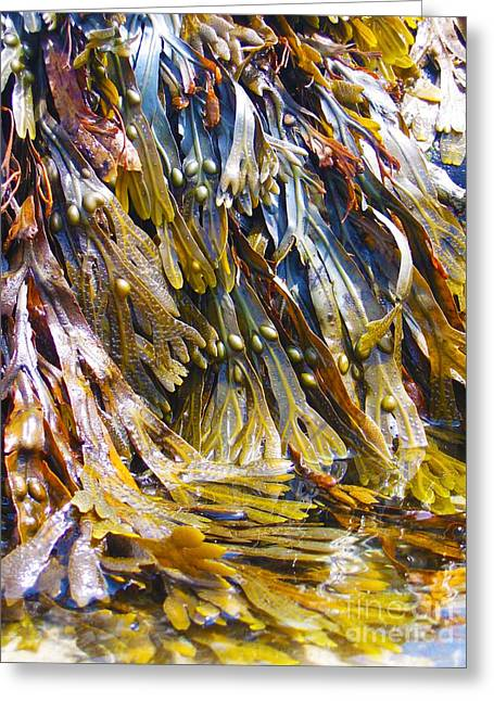 New England Ocean Drawings Greeting Cards - Maine Seaweed 7 Greeting Card by Christine Dion