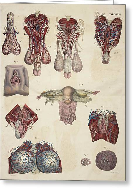 Male And Female Reproductive Organs Greeting Card by British Library