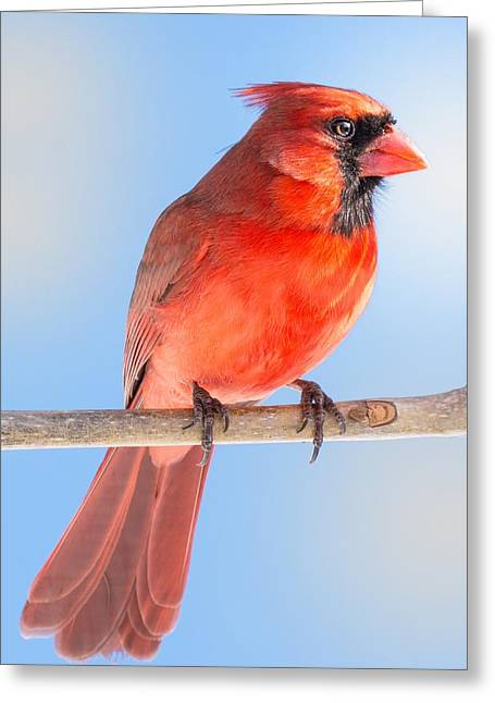 Birdwatching Greeting Cards - Male Cardinal Greeting Card by Jim Hughes
