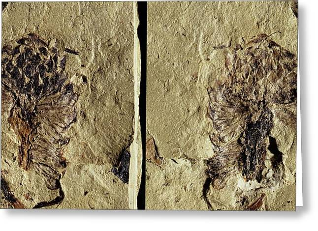 Male Conifer Cone Fossil Greeting Card by Gilles Mermet