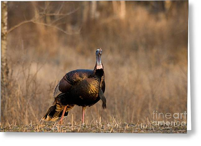 Eastern Wild Turkey Greeting Cards - Male Eastern Wild Turkey Greeting Card by Linda Freshwaters Arndt