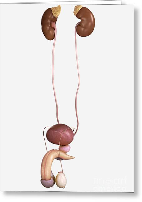 Genitourinary System Greeting Cards - Male Genitourinary System Greeting Card by Science Picture Co