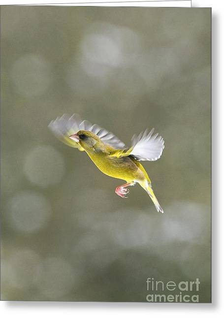 British Fauna Greeting Cards - Male Greenfinch In Flight Greeting Card by Colin Varndell